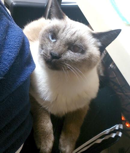 膝の上にのる猫